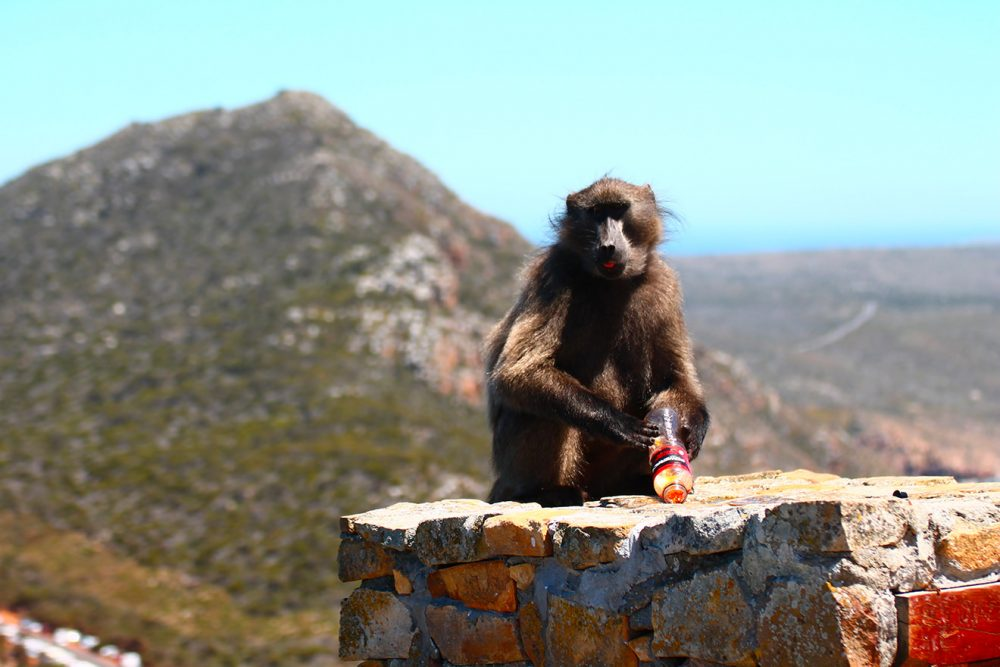 Naughty baboon at Cape Point.