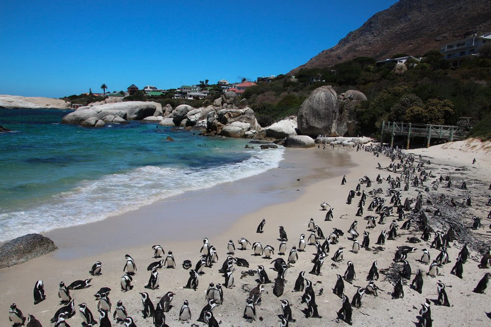 Penguin colony at Boulders Beach.